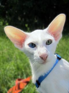 7th Heaven's Asterix of Elven Pride - white odd-eyed oriental cat