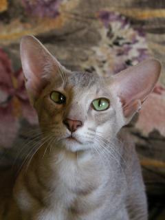 Saeros Elven Pride - lilac ticked oriental cat