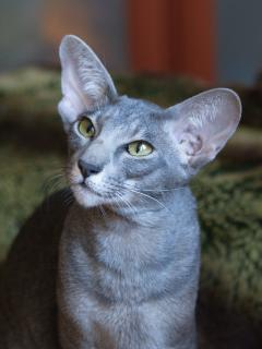 blue ticked tabby oriental cat Xuanwen Elven Pride