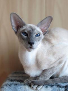 Luinara Elven Pride - blue point siamese cat
