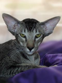 Nessima Elven Pride - ebony ticked oriental cat