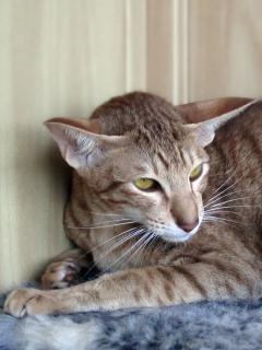Wasilisiel Elven Pride шоколадная пятнистая ориентальная кошка