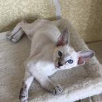 Elven Pride - siamese and oriental cats