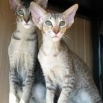Felisundar Hemali chocolate/chestnut spotted oriental cat