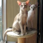 Elven Pride - siamese and oriental cats